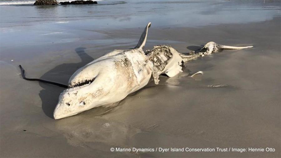 Grande tubarão-branco esquartejado por baleias assassinas na África do Sul.