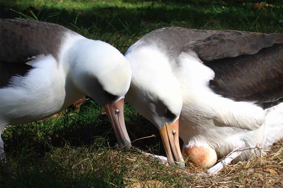 O albatroz põe ovos elípticos porque é um excelente voador.