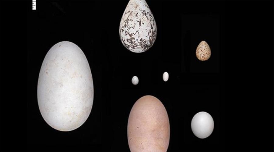 ovos de aves
