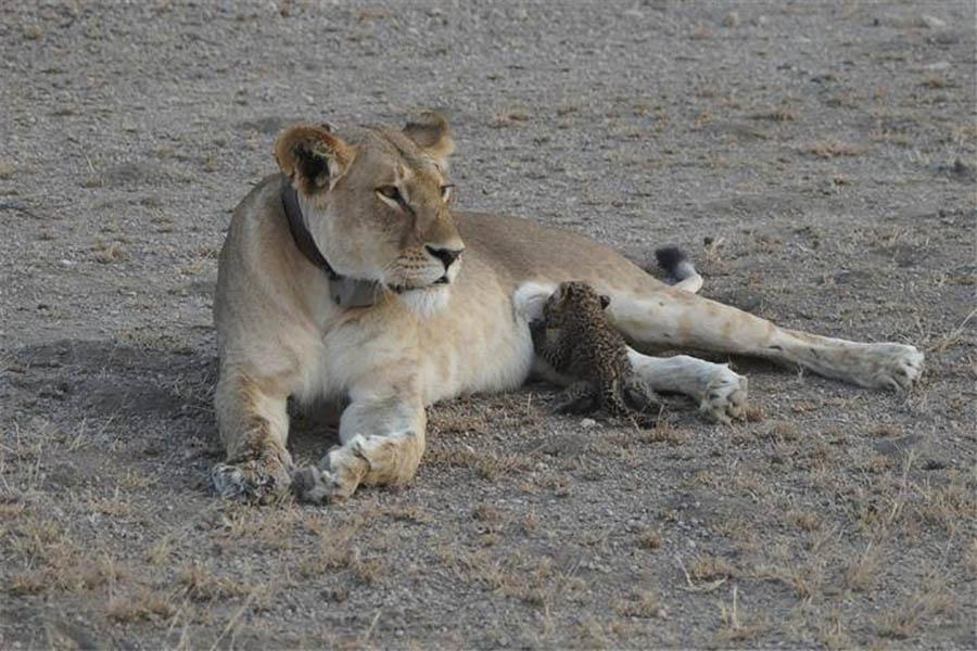 Foto inédita registou uma leoa a dar de mamar a cria de leopardo na Tanzânia.