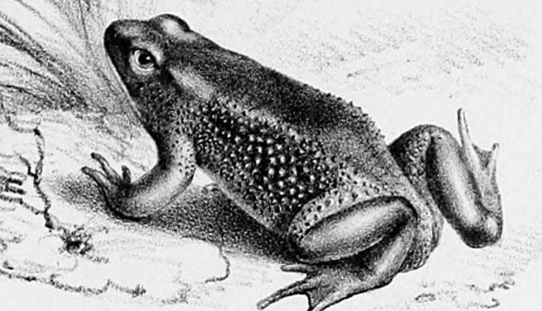 Atelopus ignescens