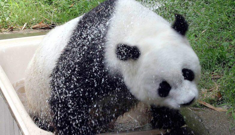 Morreu o panda mais velho do mundo