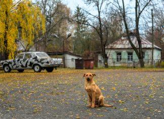 Cão em Chernobyl, Ucrânia