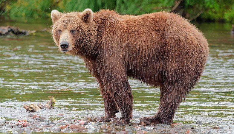 """Homem """"atacado por urso"""" sobrevive um mês na sua toca - ZAP"""