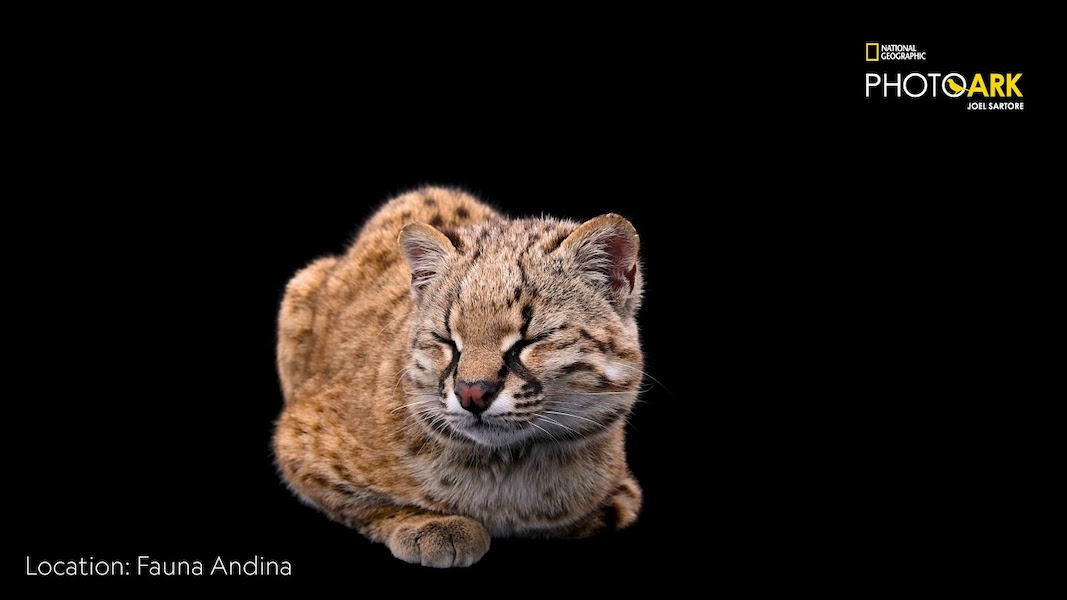 """One of the smallest cats in the world """"chirps"""" like a bird"""