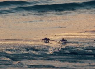 Dois caranguejos à beira-mar