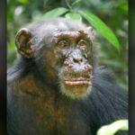 Um chimpanzé selvagem com lepra