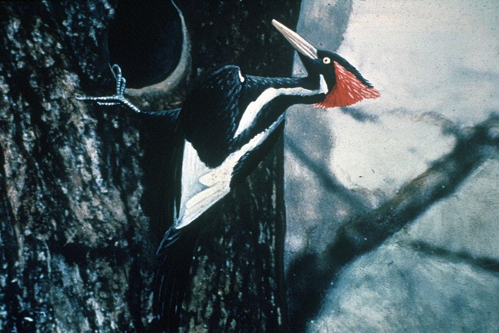 Uma fotografia do alegadamente extinto pica-pau-bico-de-marfim.