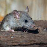 Um rato
